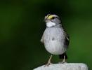 White-throated Sparrow/Zonotrichia albicollis, Family Buntings
