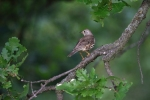 Family Thrushes, Song Thrush/Turdus philomelos - Photographer: Frank Schulkes