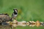 House Sparrow/Passer domesticus - Photographer: Frank Schulkes