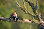 Eurasian Hoopoe/Upupa epops, Family Hoopoes