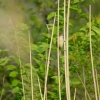 Family Warblers , Eurasian Reed-warbler/Acrocephalus scirpaceus