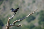 Common Raven/Corvus corax, Family Crows
