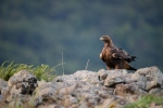 Golden Eagle/Aquila chrysaetos, Family Hawks