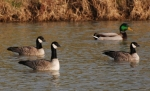 Cackling Goose/Branta hutchinsii, Family Waterfowl