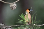 Hawfinch/Coccothraustes coccothraustes - Photographer: Frank Schulkes