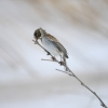 Family Buntings, Reed Bunting/Emberiza schoeniclus - Photographer: Frank Schulkes