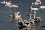 Mute Swan/Cygnus olor - Photographer: Любомир Калудов