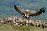 Eurasian Griffon/Gyps fulvus - Photographer: Frank Schulkes