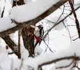 Family Woodpeckers, Great Spotted Woodpecker/Dendrocopos major - Photographer: Васил Василев
