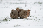 Family Gamebirds, Grey Partridge/Perdix perdix - Photographer: Frank Schulkes