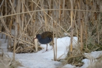 Family Rails, Water Rail/Rallus aquaticus - Photographer: Frank Schulkes
