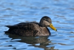 American Black Duck/Anas rubripes, Photographer Иван Петров