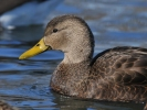 American Black Duck/Anas rubripes, Family Waterfowl