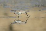Curlew Sandpiper/Calidris ferruginea - Photographer: Frank Schulkes