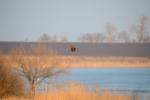 Western Marsh-harrier/Circus aeruginosus - Photographer: Frank Schulkes