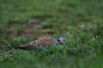Family Pigeons, Doves, European Turtle-dove/Streptopelia turtur