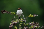 Family Shrikes, Woodchat Shrike/Lanius senator