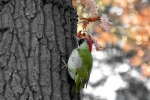 Family Woodpeckers, Eurasian Green Woodpecker/Picus viridis - Photographer: Лилия Василева