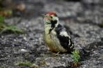 Syrian Woodpecker/Dendrocopos syriacus - Photographer: Frank Schulkes