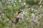 Aquatic Warbler/Acrocephalus paludicola, Family Warblers