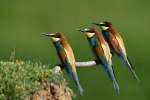 European Bee-eater/Merops apiaster, Family Bee-eaters