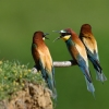 Family Bee-eaters, European Bee-eater/Merops apiaster