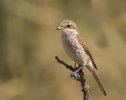 Red-backed Shrike/Lanius collurio, Family Shrikes