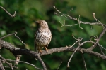 Family Thrushes, Mistle Thrush/Turdus viscivorus - Photographer: Frank Schulkes