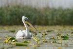 Dalmatian Pelican/Pelecanus crispus - Photographer: Frank Schulkes
