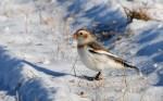 Family Buntings, Snow Bunting/Plectrophenax nivalis