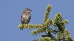 Hedge Accentor/Prunella modularis - Photographer: Иван Петров