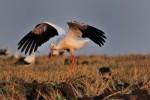 White Stork/Ciconia ciconia - Photographer: Емил Иванов
