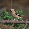 Hawfinch/Coccothraustes coccothraustes