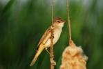Great Reed-warbler/Acrocephalus arundinaceus - Photographer: Велизара Нашкова