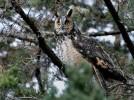 Long-eared Owl/Asio otus - Photographer: Иван Петров