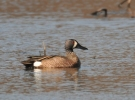Blue-winged Teal/Anas discors, Family Waterfowl