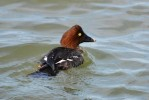 Common Goldeneye/Bucephala clangula - Photographer: Иван Петров
