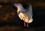 Snow Goose/Chen caerulescens - Photographer: Иван Петров