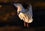 Snow Goose/Chen caerulescens, Photographer Иван Петров