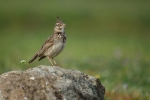 Crested Lark/Galerida cristata - Photographer: Frank Schulkes