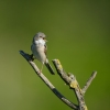 Family Warblers , Common Whitethroat/Sylvia communis - Photographer: Frank Schulkes