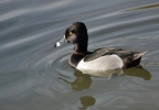 Ring-necked Duck/Aythya collaris, Family Waterfowl