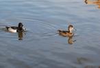 Ring-necked Duck/Aythya collaris, Photographer Иван Петров