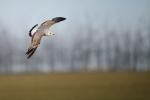 Mew Gull/Larus canus, Family Gulls, Terns