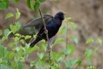 Common Starling/Sturnus vulgaris, Family Starlings
