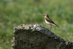 Family Thrushes, Northern Wheatear/Oenanthe oenanthe - Photographer: Frank Schulkes