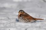 Fox Sparrow/Passerella iliaca, Family Buntings