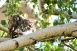 Long-eared Owl/Asio otus, Family Owls