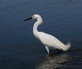 Snowy Egret/Egretta thula, Family Herons, Bitterns