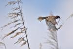 Eurasian Tree Sparrow/Passer montanus, Family Sparrows